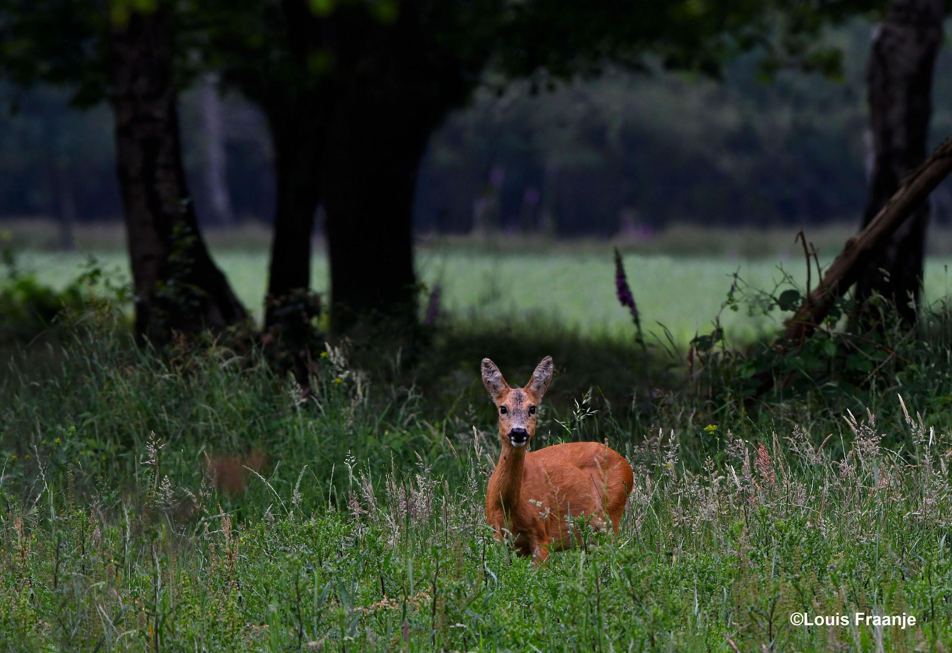 In het hoge gras stond een reegeit - Foto: ©Louis Fraanje