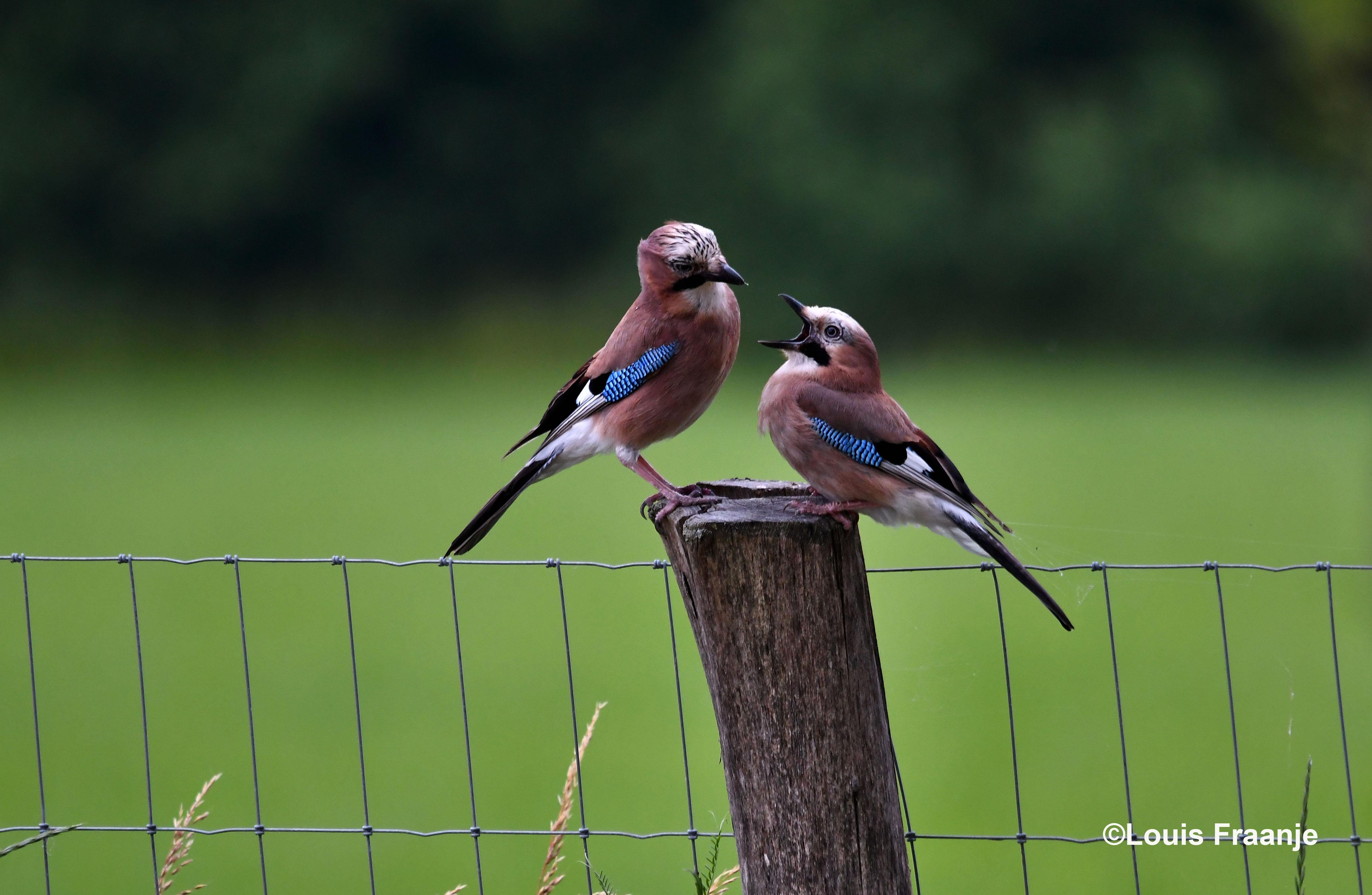 Op het hek zat een Vlaamse gaai haar jong te voeren, tenminste dat was ze van plan - Foto: ©Louis Fraanje