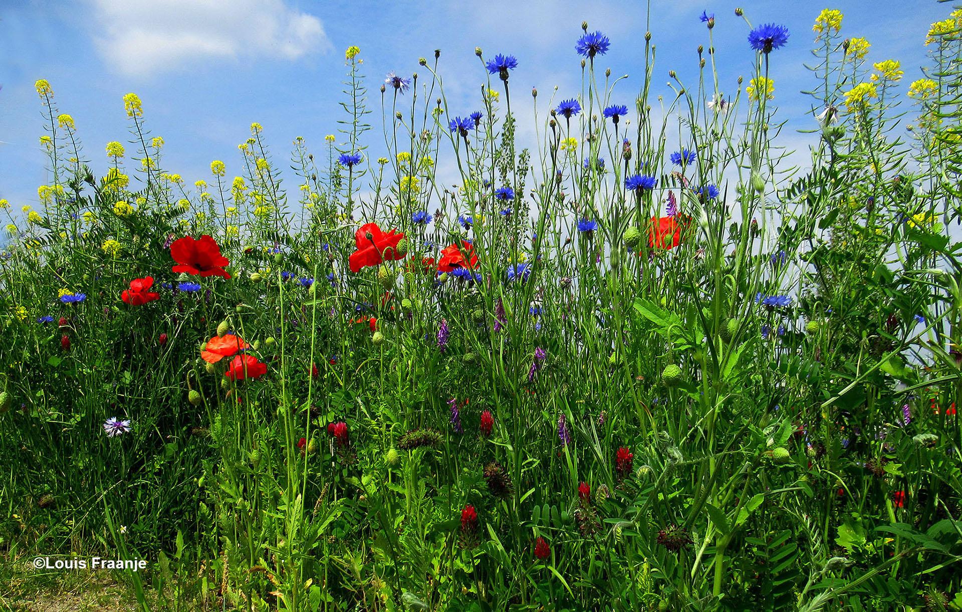 Wilde bloemen langs de weg - Foto: ©Louis Fraanje