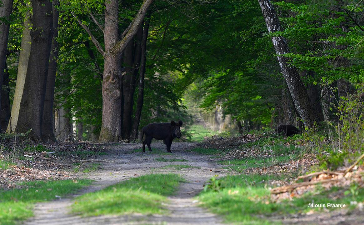 Het laatste zwijn bleef staan kijken naar ons, dat was best spannend natuurlijk - Foto: ©Louis Fraanje