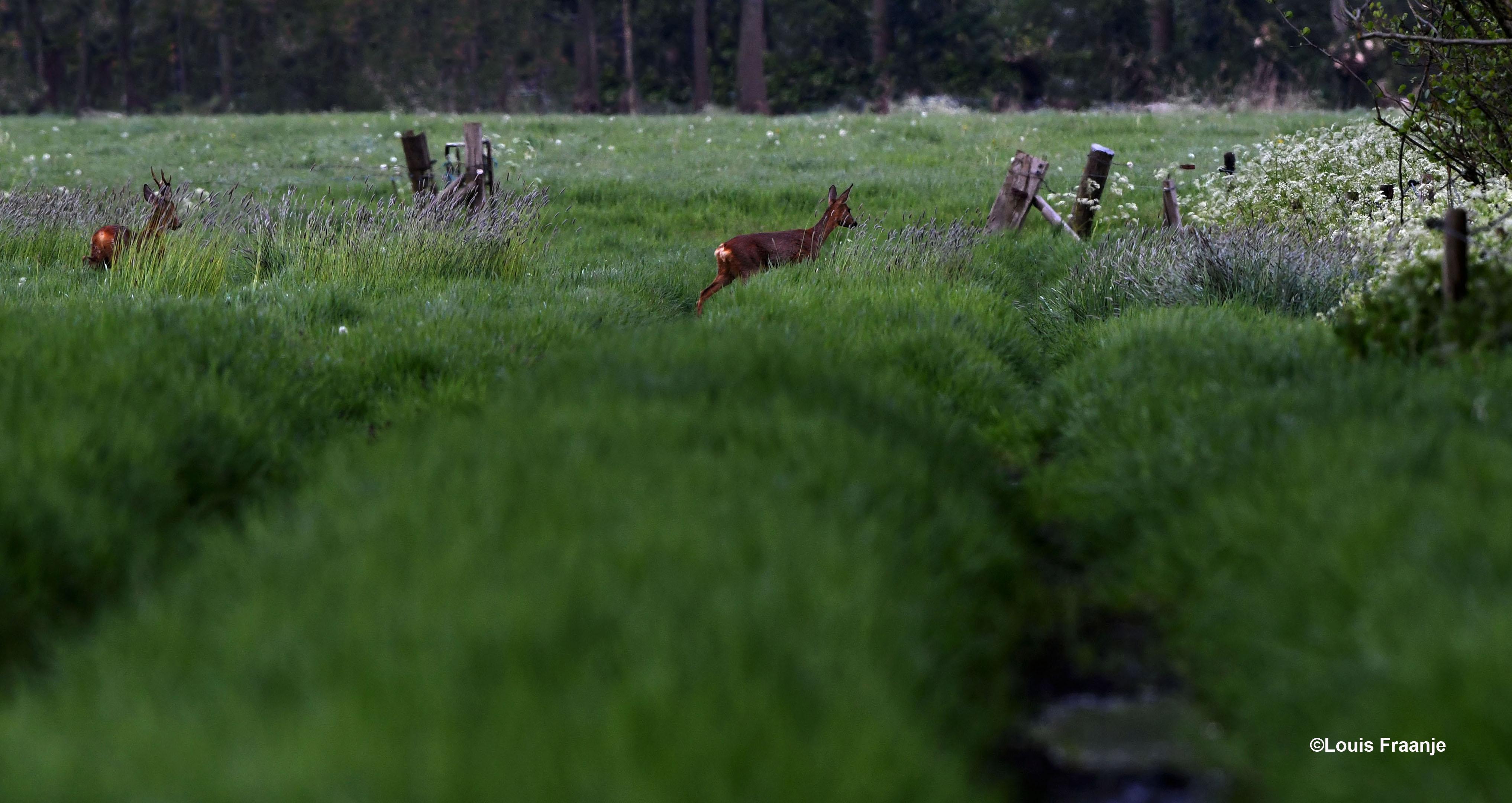 Helaas vertrekken ze nog verder naar achteren en verdwijnen in de dekking – Foto: ©Louis Fraanje