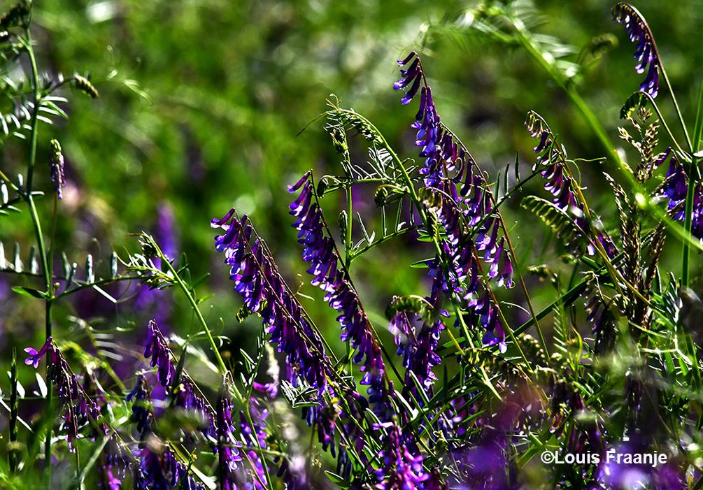 Het paars/blauwe vogelwikke was bijna overal aanwezig - Foto: ©Louis Fraanje
