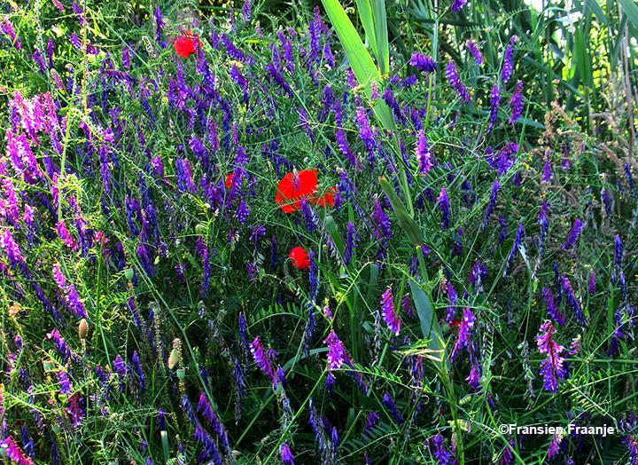 En ter afsluiting deze mooie plaat met in het midden een vuurrode klaproos tussen het paars/blauwe vogelwikke - Foto: ©Fransien Fraanje