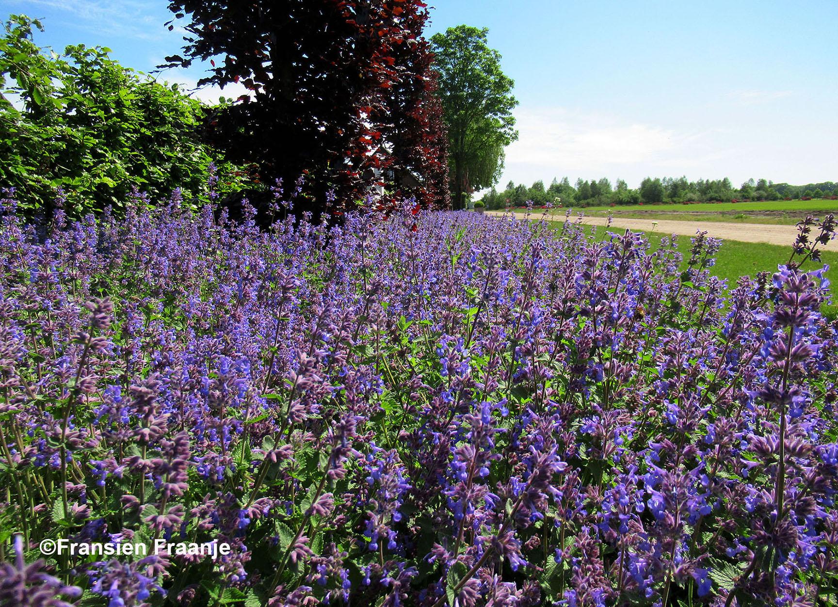 Prachtig lila/paars van Lavendel? Of is het toch een andere soort? - Foto: ©Fransien Fraanje