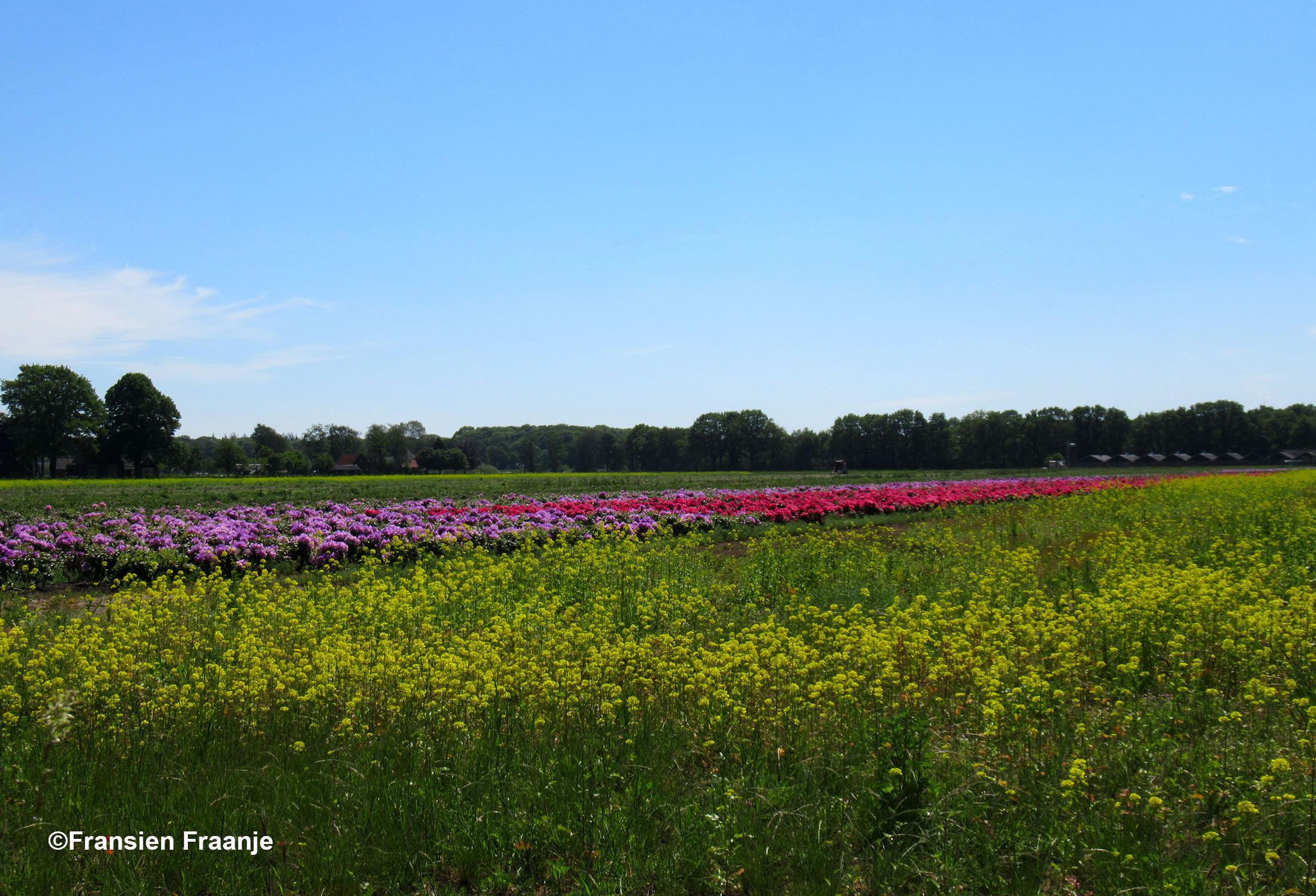 Prachtige kleuren op de akkers, met voor aan het gele Koolzaad en daarachter de rhododendrons - Foto: ©Fransien Fraanje