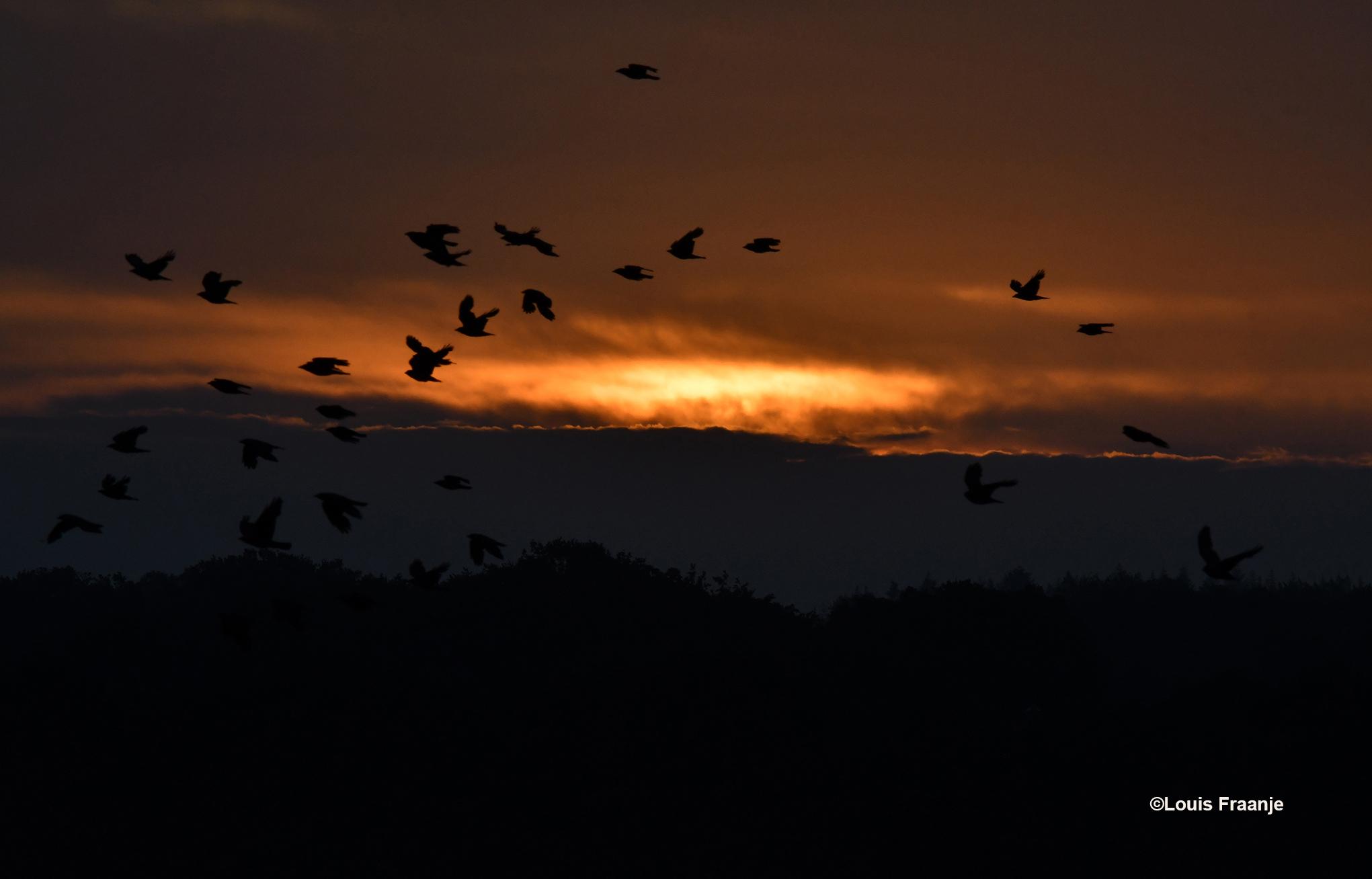 Terwijl de zon door het wolkendek probeerde heen te dringen, kwamen er ineens een hele zwerm kraaien voorbij vliegen - Foto: ©Louis Fraanje