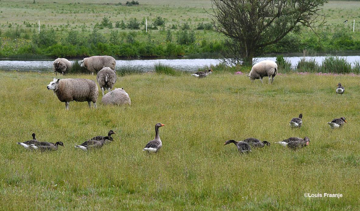 Nieuwsgierige ganzen tussen de rustig grazende schapen op de wei - Foto: ©Louis Fraanje
