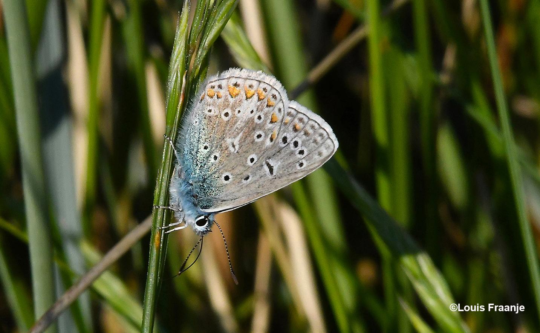 Hier met dichtgeklapte vleugels op een rietstengel, aan de onderkant zie je een prachtig gekleurd palet - Foto: ©Louis Fraanj