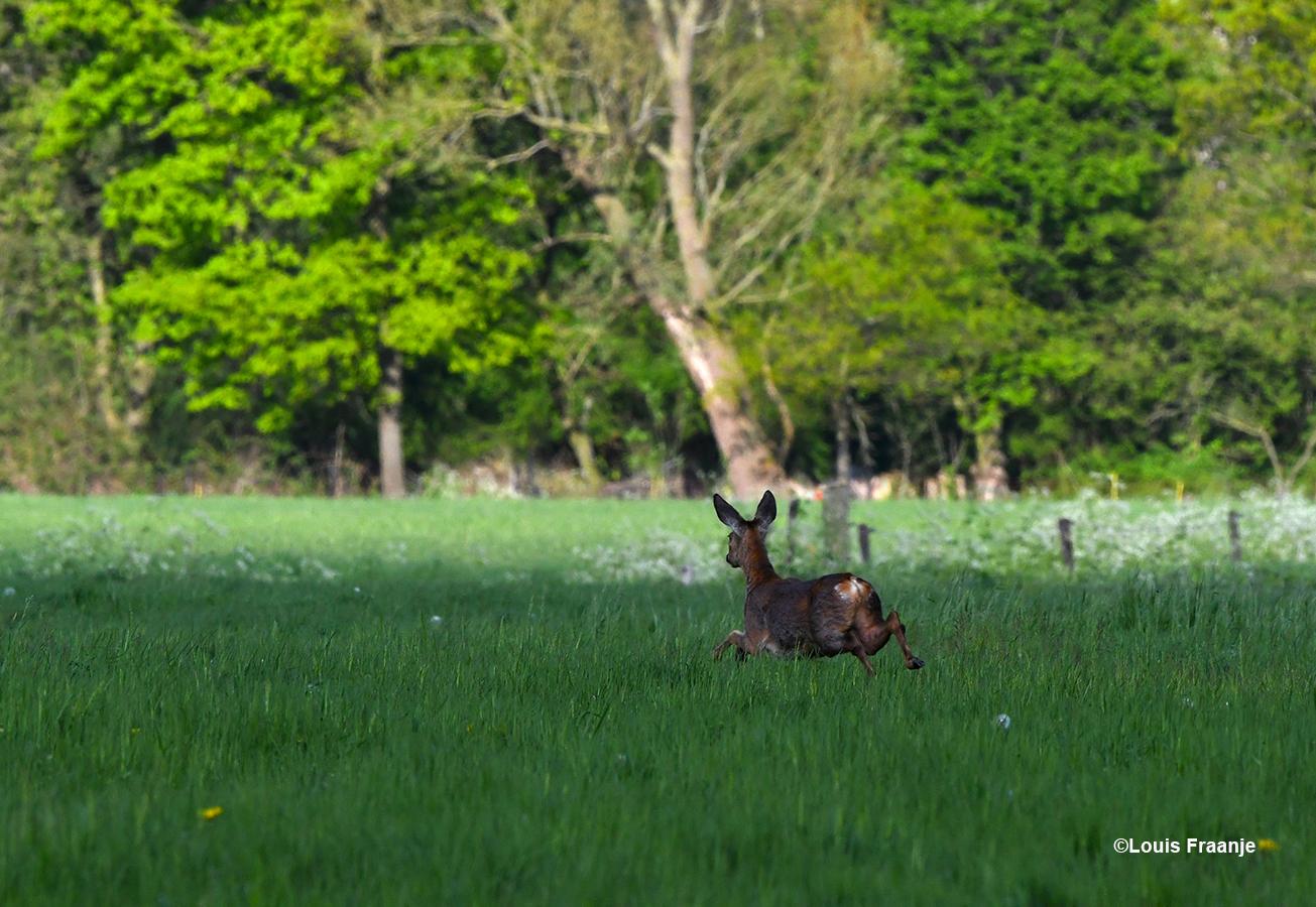 Met hele grote sprongen steekt ze het weiland over en verdwijnt aan de overkant in het bos - Foto: ©Louis Fraanje