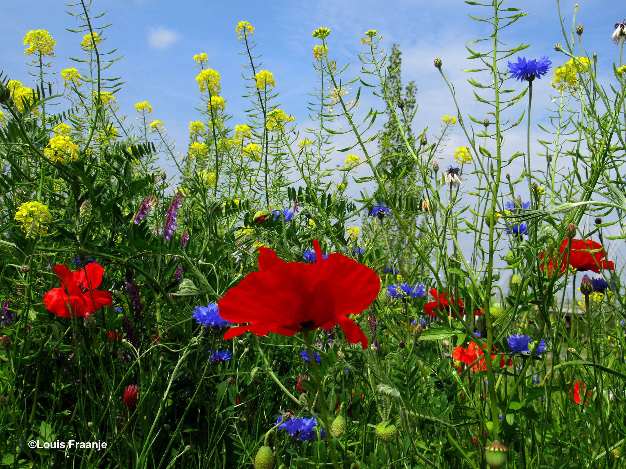 De rode klaprozen en blauwe korenbloemen vallen het meeste op - Foto: ©Louis Fraanje