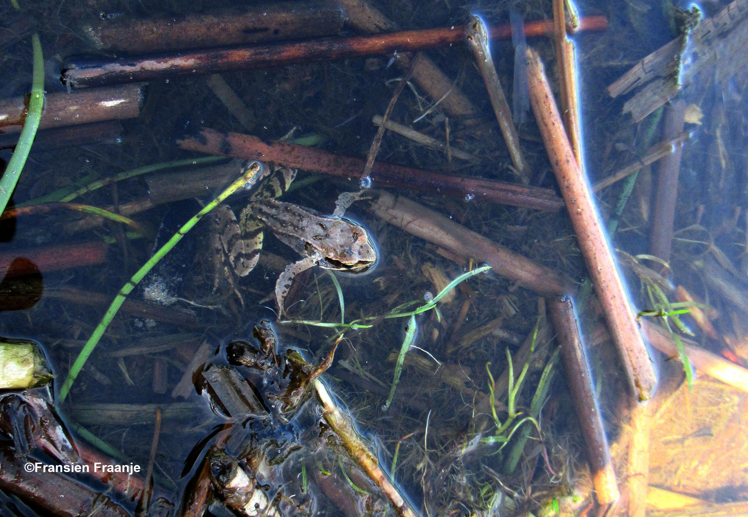 Fransien ontdekt een jonge Heidekikker in het water - Foto: ©Fransien Fraanje