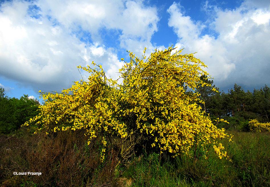Zo'n prachtige brem versterkt het voorjaarsgevoel - Foto: ©Louis Fraanje