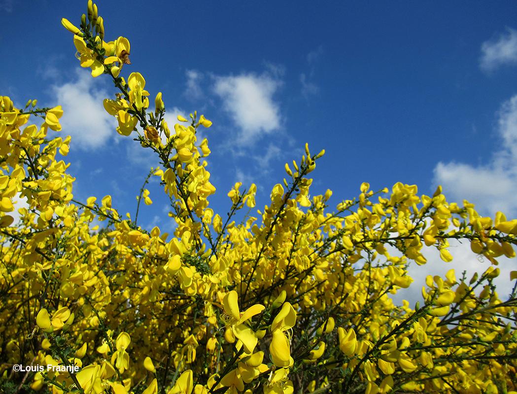 Schitterend, die knalgele bloemen met de blauwe lucht op de achtergrond - Foto: ©Louis Fraanje