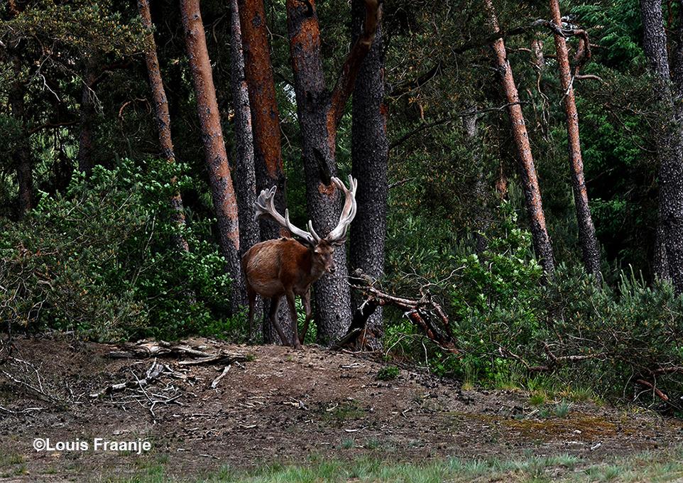 Een prachtig gezicht als Hubertus vanuit het dichte bos de open vlakte op komt - Foto: ©Louis Fraanje