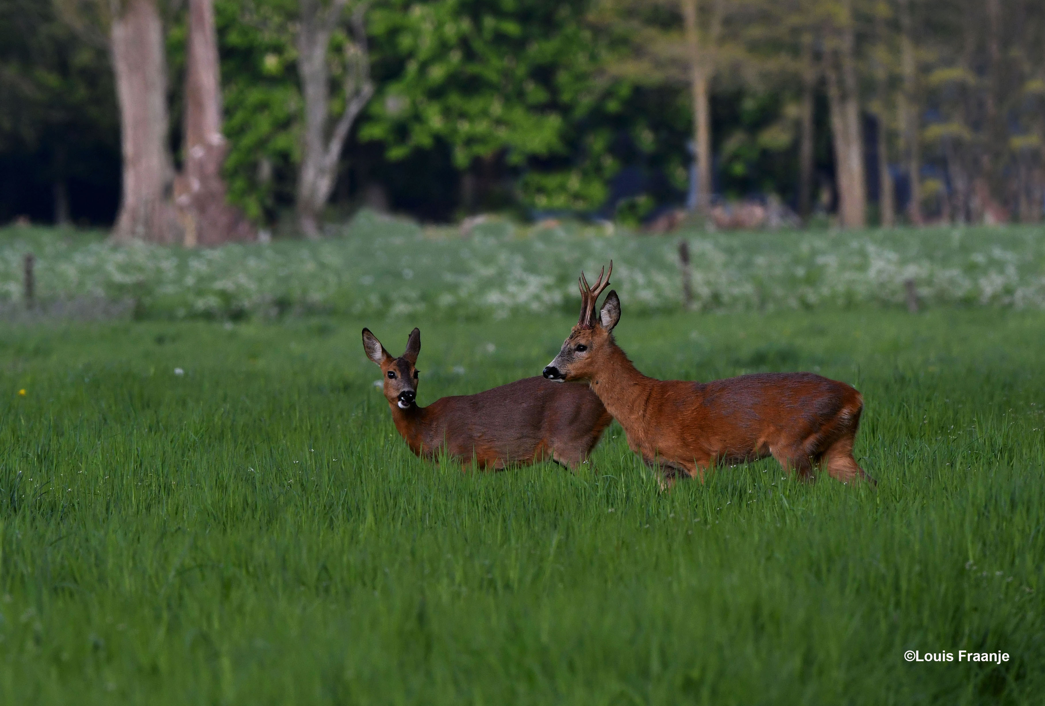 Het is een schitterend gezicht om dit tweetal zo samen in het hoge gras te zien staan - Foto: ©Louis Fraanje
