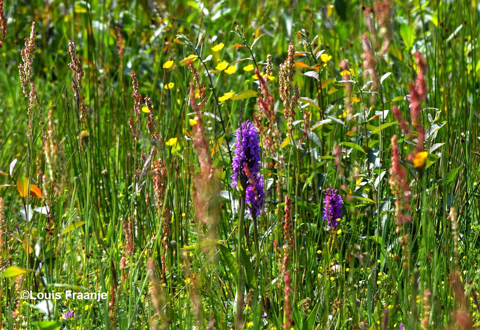 Maar ook ergens zomaar in het BInnenveld, een prachtige orchidee ontdekken, is een feest op zich! - Foto: ©Louis Fraanje