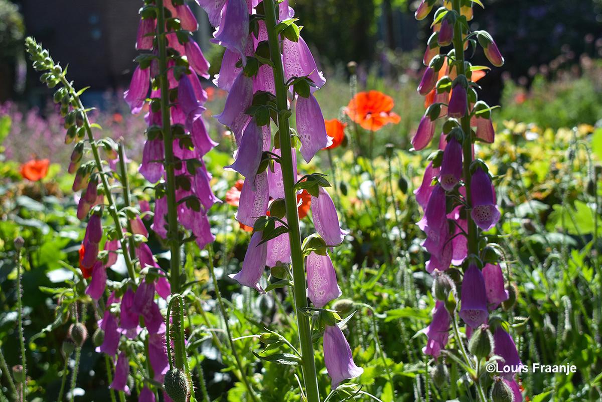 Soms kijk je dwars door de bloemen heen - Foto: ©Louis Fraanje
