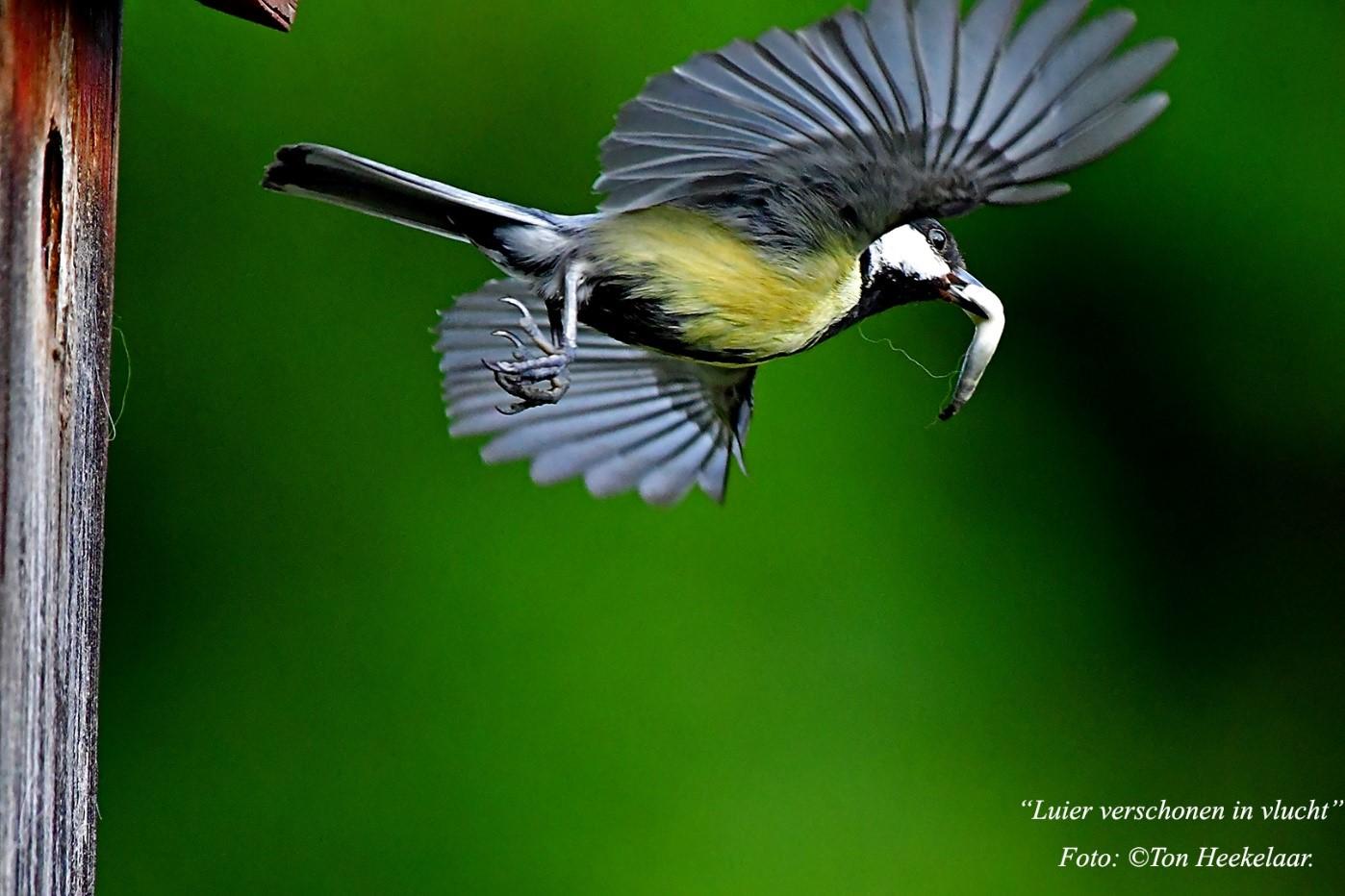 """Hygiëne in en rond het nestkastje is de basis, dus eerst een eindje vliegen alvorens de """"luier"""" op afstand te deponeren - Foto: ©Ton Heekelaar"""