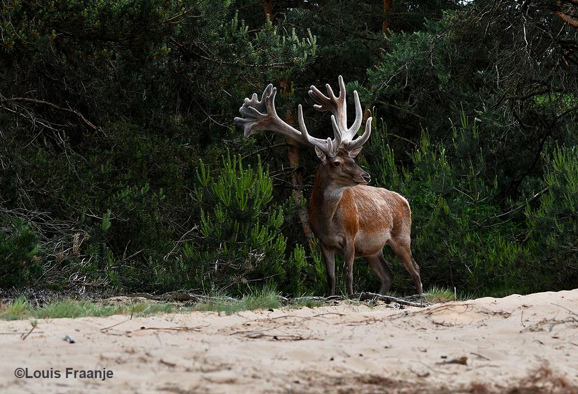Wat een machtig gezicht om de 'koning' van het Veluwse woud bij de bosrand te zien staan - Foto: ©Louis Fraanje