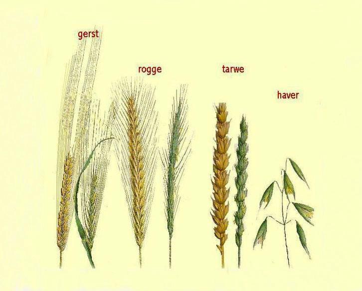 Als je dit kaartje bij de hand hebt, kun je de graansoort gemakkelijk herkennen - Foto: ©Archief graansoorten Fraanje