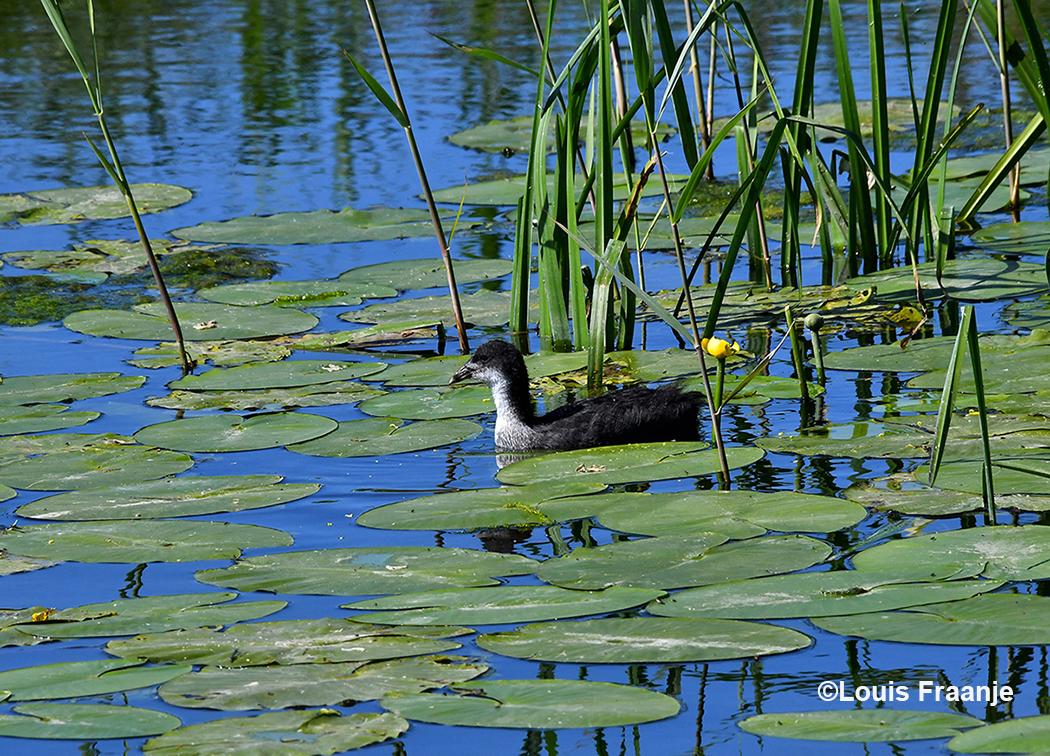 Bij een gele plomp zagen we een jonge meerkoet zwemmen - Foto: ©Louis Fraanje