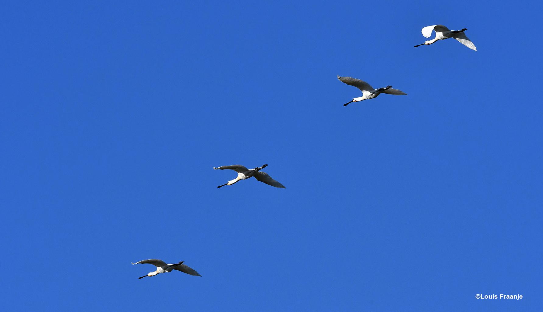 Een viertal Lepelaars, die in formatie hoog over ons heenvlogen - Foto: ©Louis Fraanje