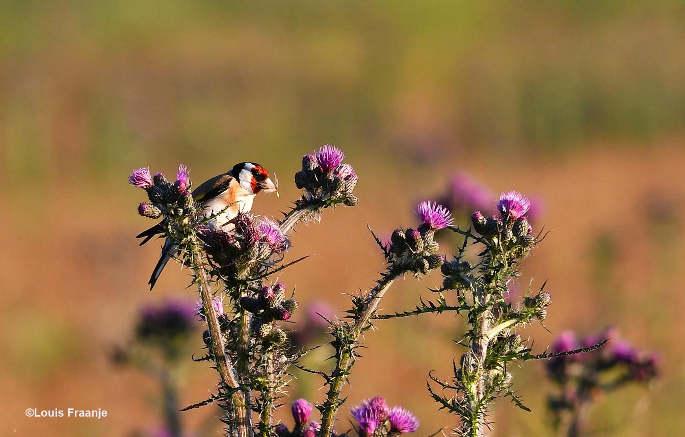 De kleurrijke Putter of Distelvink snoept van de Speerdistel - Foto: ©Louis Fraanje