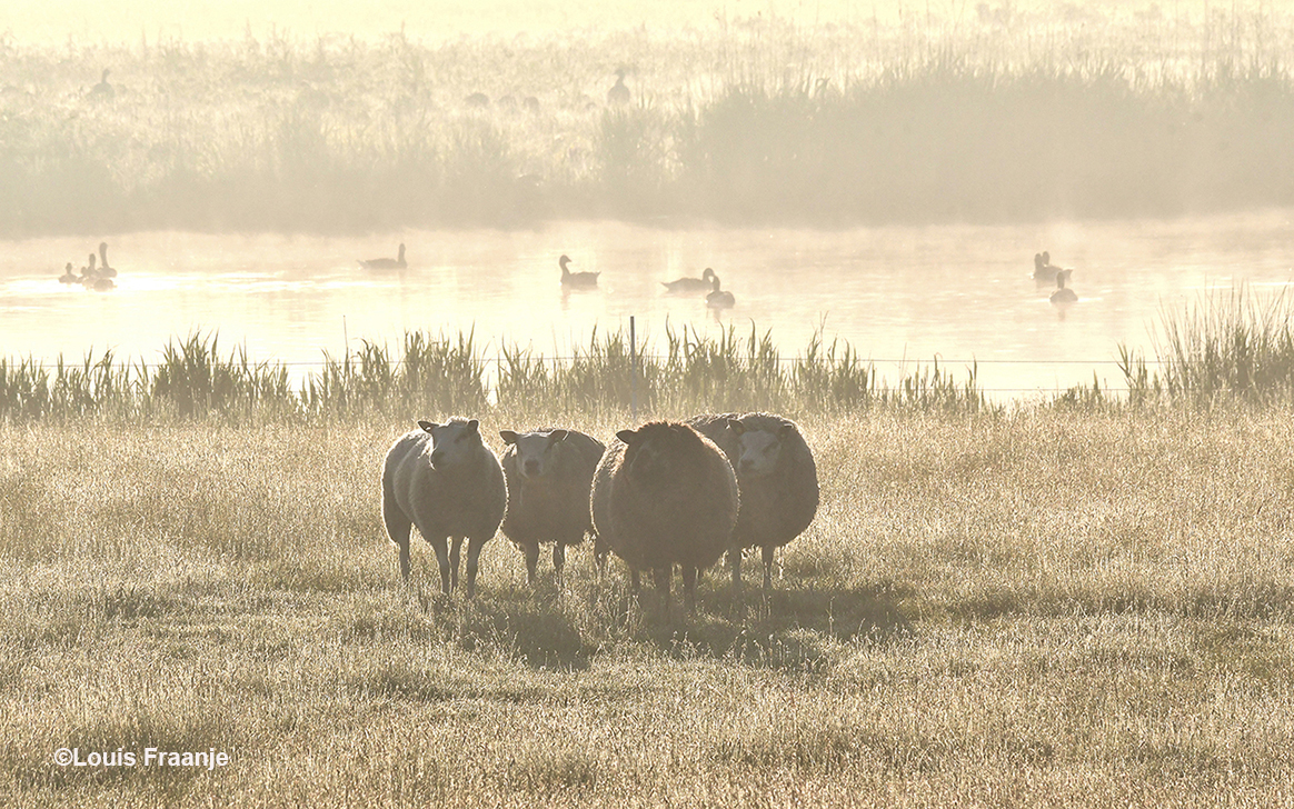 En even later stonden er enkele schapen op de wei in de ochtendnevel - Foto: ©Louis Fraanje
