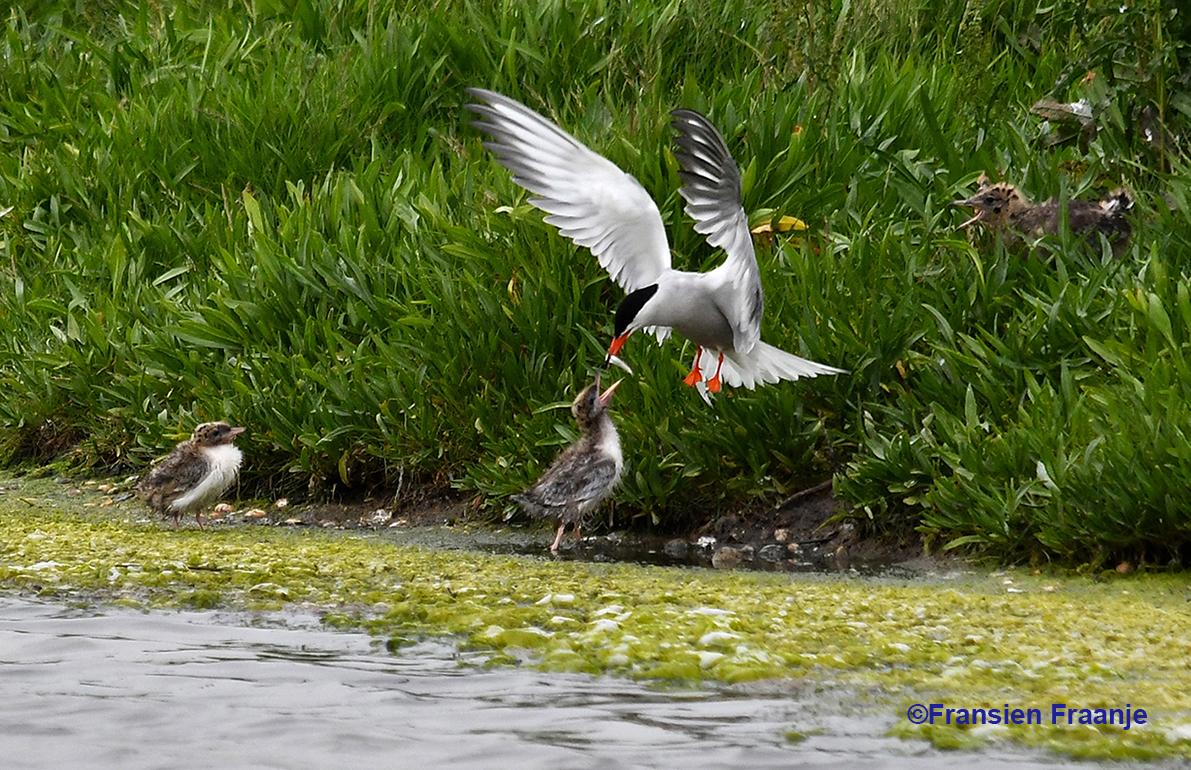 Hangend in de lucht met wiekelende vleugels werd het visje overgedragen aan het jong - Foto: ©Louis Fraanje