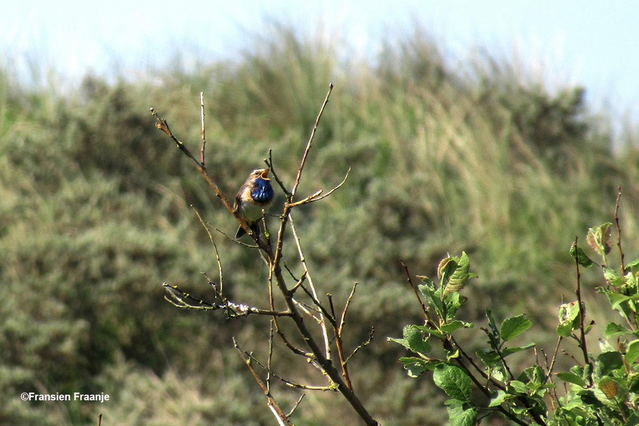 Zingend blauwborstje boven in een grote struik - Foto: ©Fransien Fraanje
