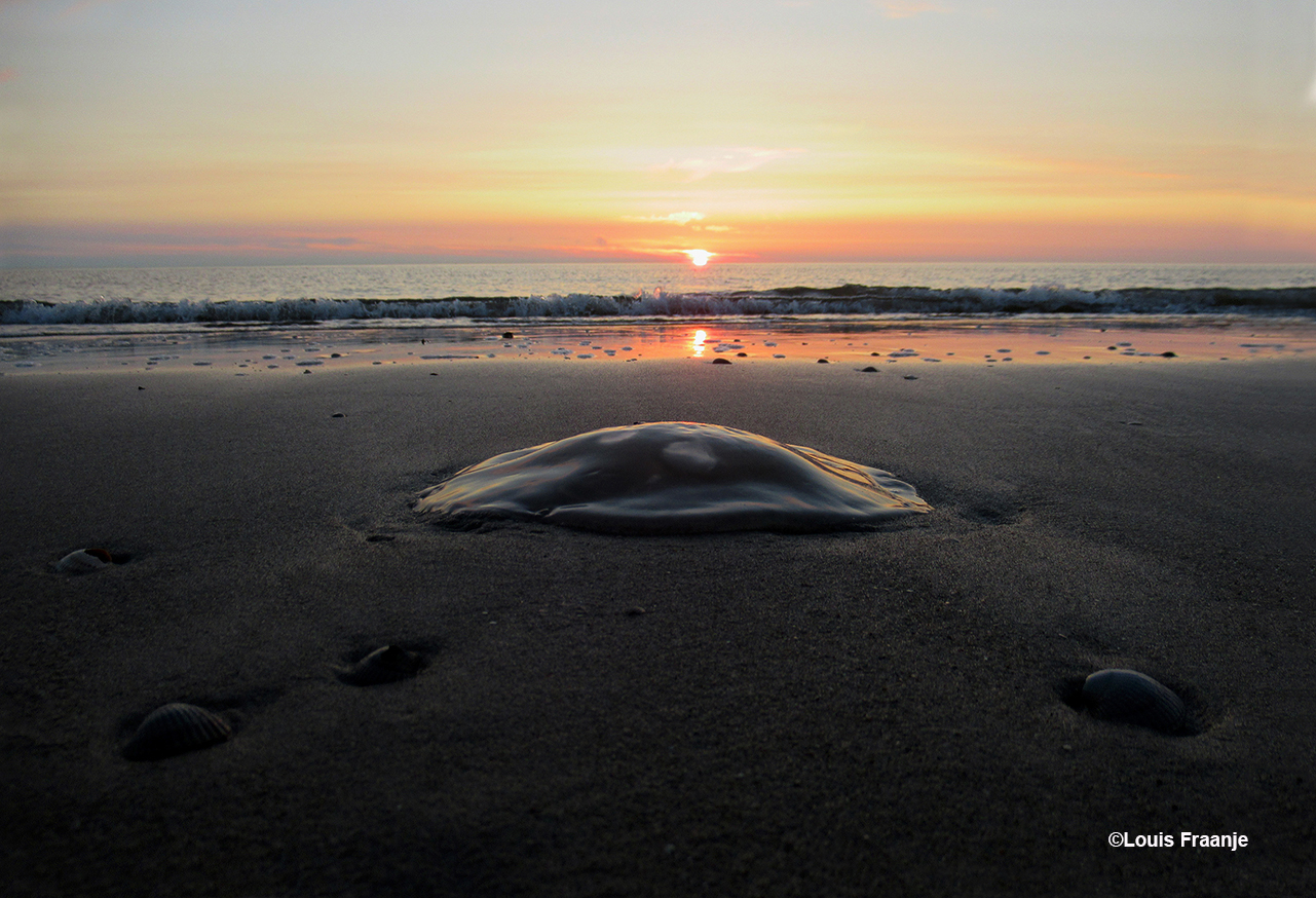 Een kwal in het prachtige licht van de zonsondergang - Foto: ©Louis Fraanje