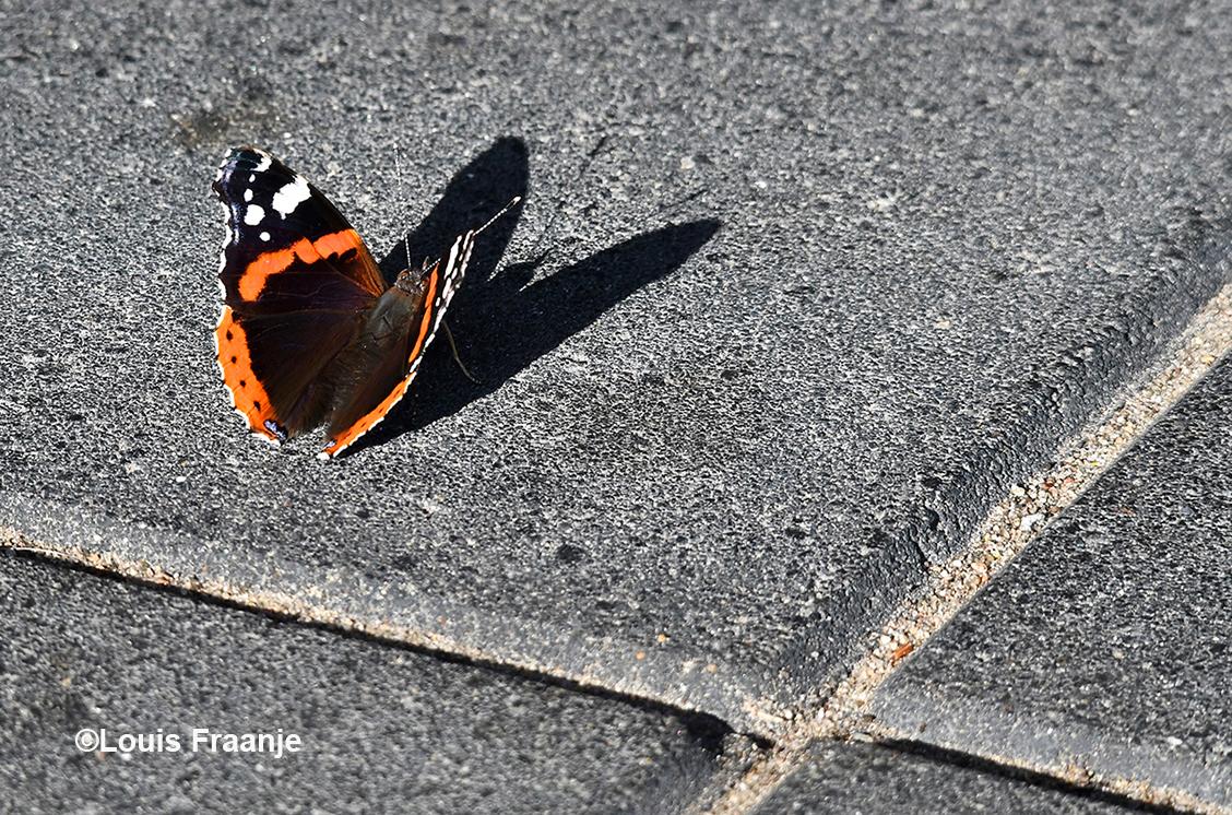De prachtige Atalanta werpt haar schaduw vooruit op het kille beton - Foto: ©Louis Fraanje
