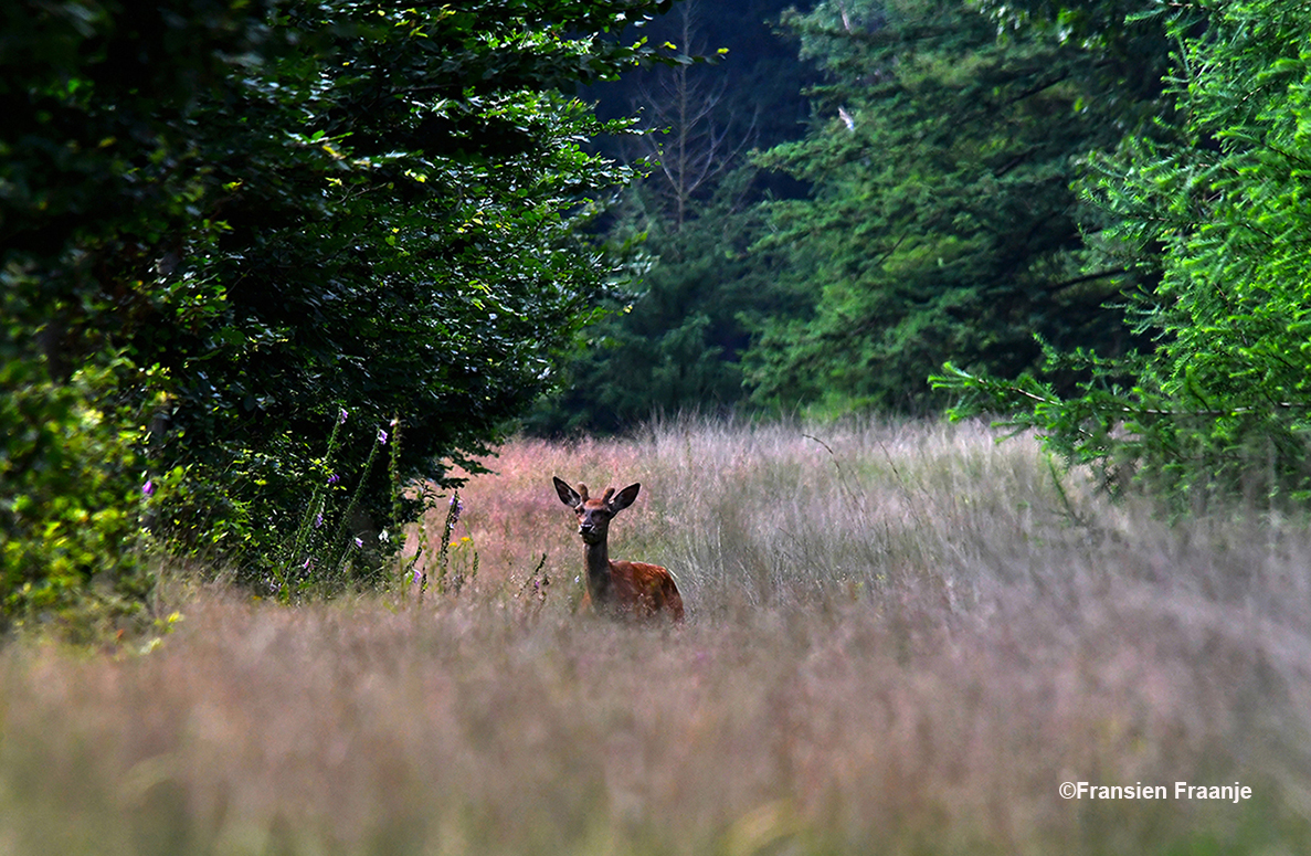 Heel ver weg in het hoge gras stond een spitser - Foto: ©Fransien Fraanje