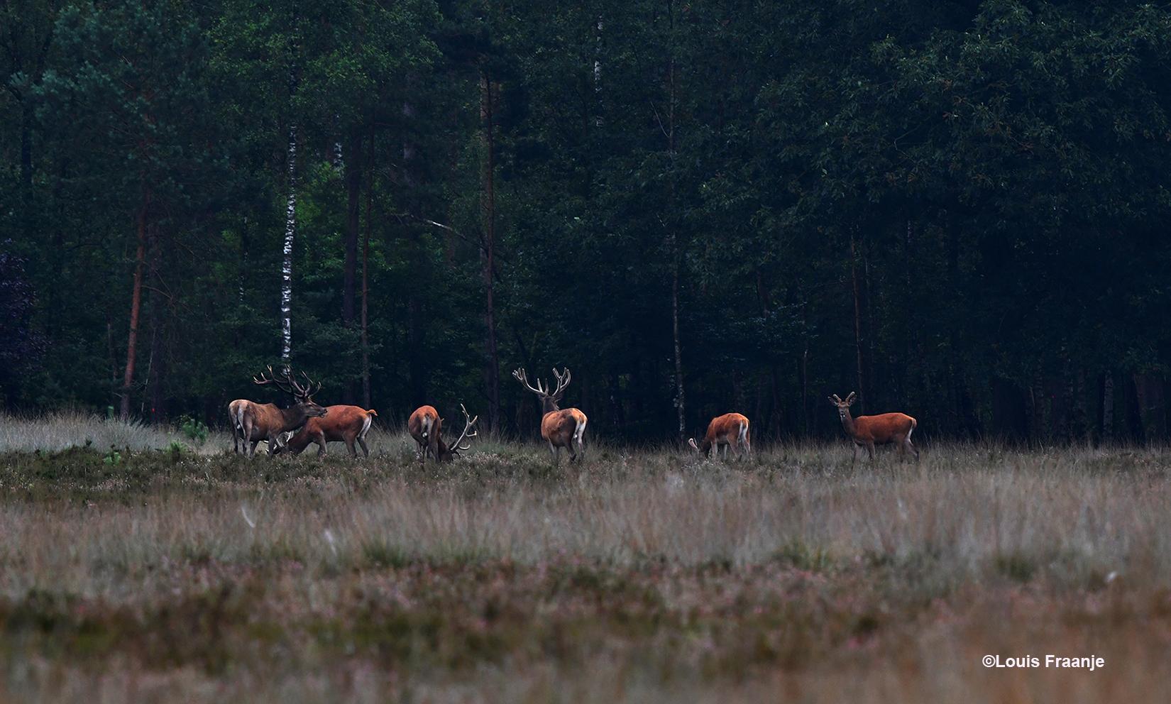 Een roedel edelherten aan de bosrand, die rustig aan het grazen zijn - Foto: ©Louis Fraanje