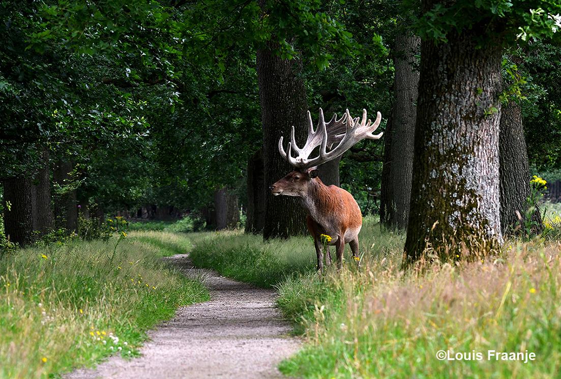 """Halverwege het bospad stond het bekende hert """"Hubertus"""" in een schitterend groen decor met oude eikenbomen.- Foto: ©Louis Fraanje"""