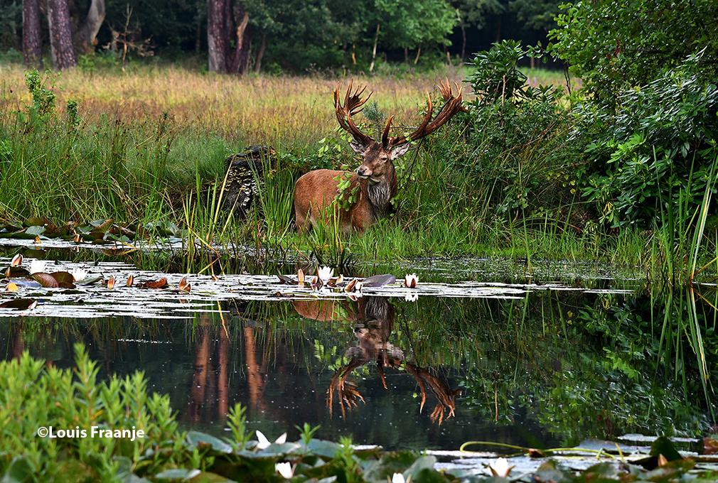 Een prachtige weerspiegeling van Hubertus in het wateroppervlak - Foto: ©Louis Fraanje