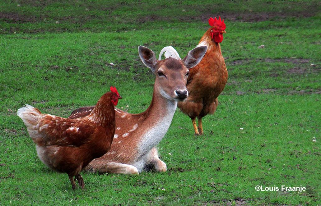 Het drietal met links de hen, doortussen de damhinde en rechts de trotse haan - Foto: ©Louis Fraanje