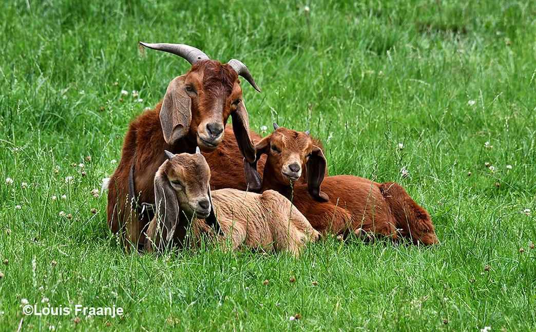De geitenmoeder met haar tweeling in de wei - Foto: ©Louis Fraanje