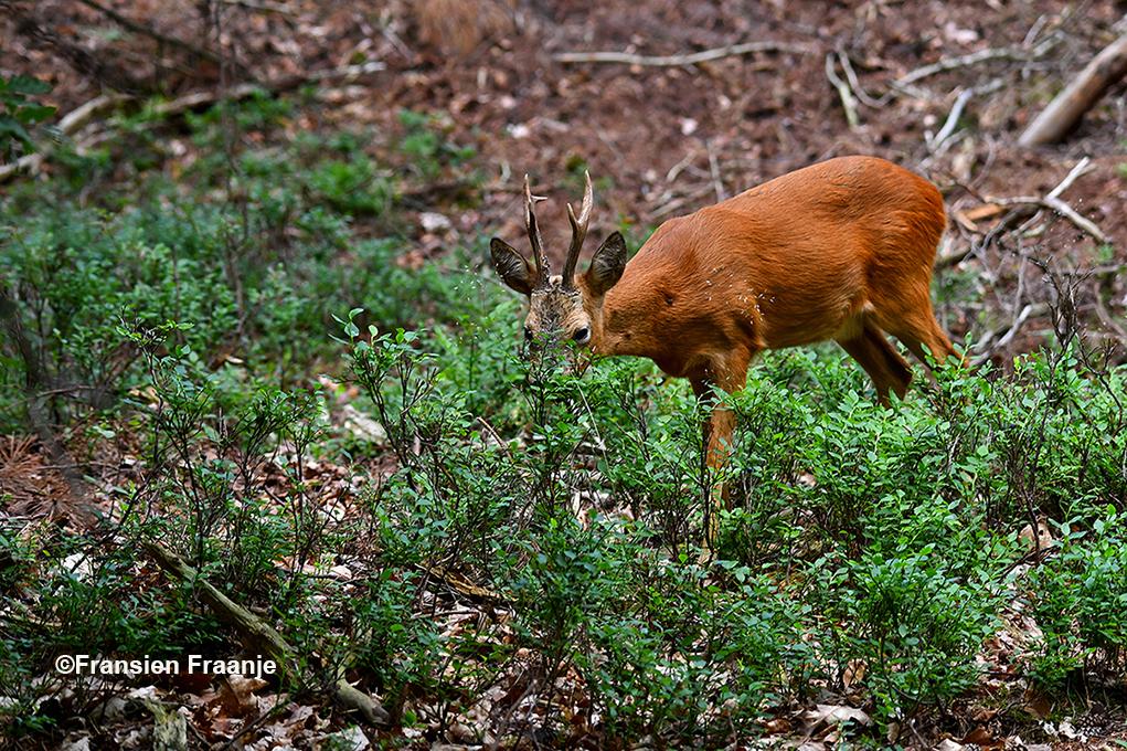 De reebok is lekker aan het smullen van de bosbessen - Foto: ©Fransien Fraanje