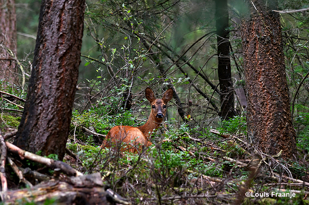 Ze zat goed verscholen tussen bomen en struiken - Foto: ©Louis Fraanje