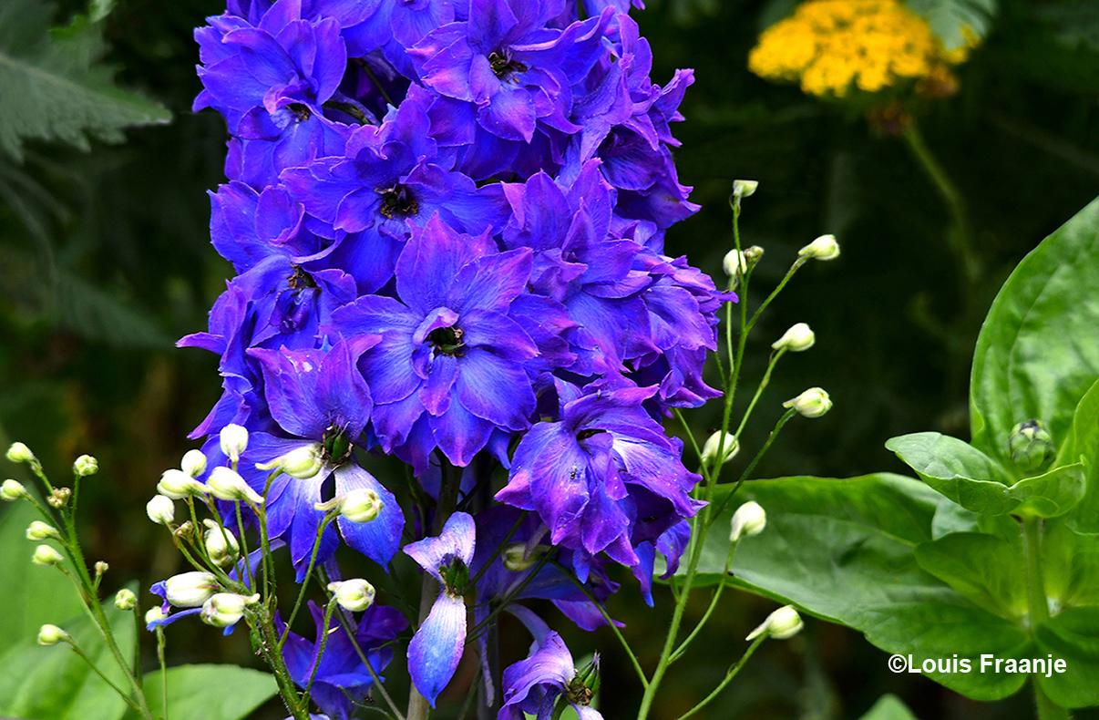 Hier een gedeelte van zo'n schitterende blauwe Tuinridderspoor, dat is toch geweldig - ©Louis Fraanje