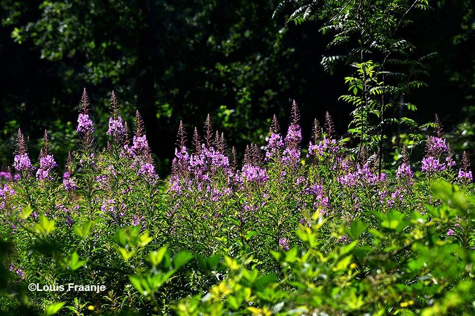 Bloeiende Wilgenroosjes aan de bosrand op de Veluwe - Foto: ©Louis Fraanje