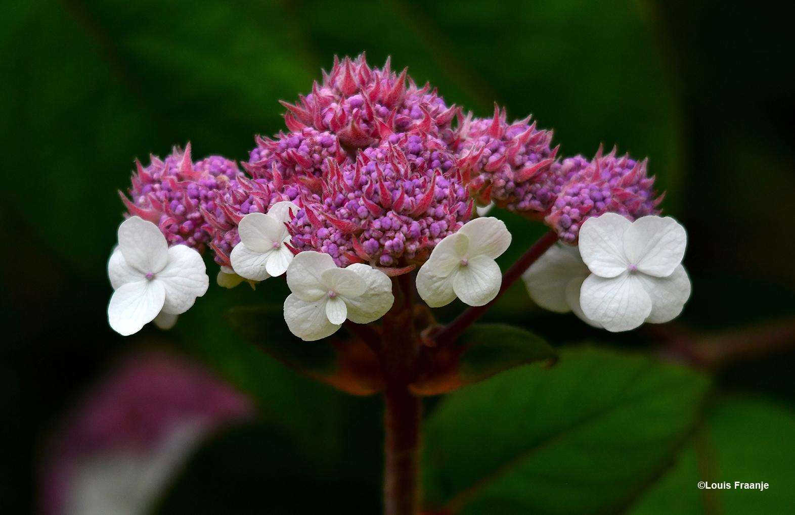 Een paarse kern, omringd door witte bloempjes - Foto: ©Louis Fraanje
