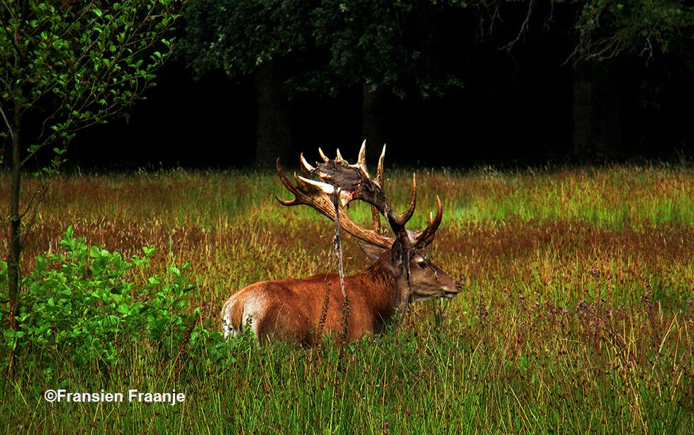 Hubertus in het hoge gras - Foto: ©Fransien Fraanje