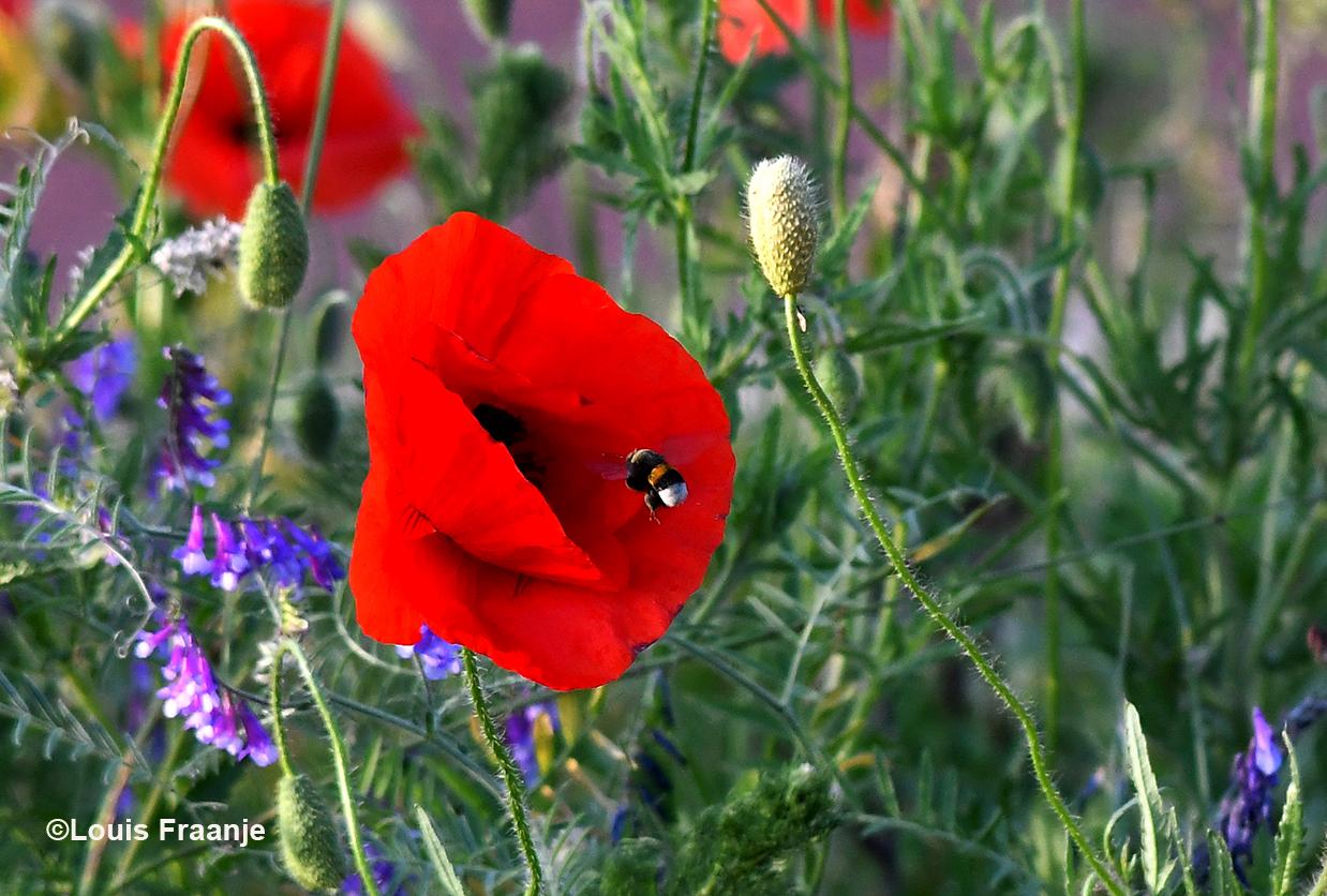 Om even later bij de Klaproos aan te kloppen voor wat nectar - Foto: ©Louis Fraanje