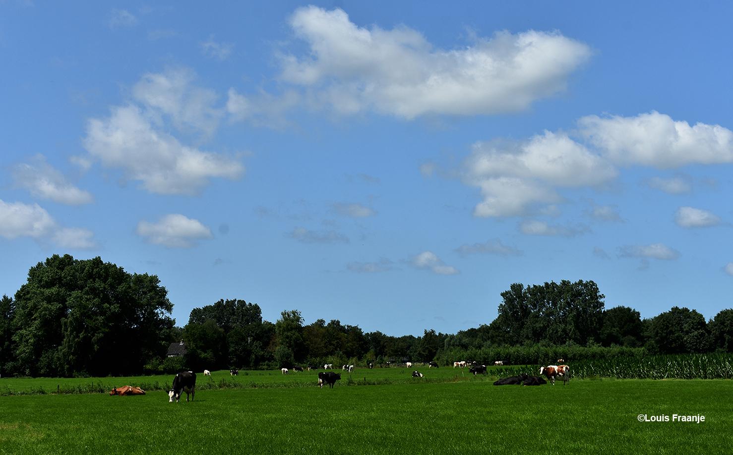 Koeien in het weiland bij Terschuur - Foto: ©Louis Fraanje