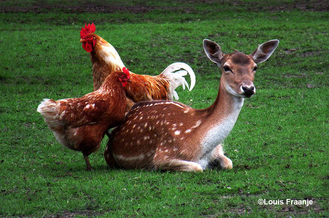 De hen probeert met haar linkerpoot de damhinde overeind te krijgen - Foto: ©Louis Fraanje