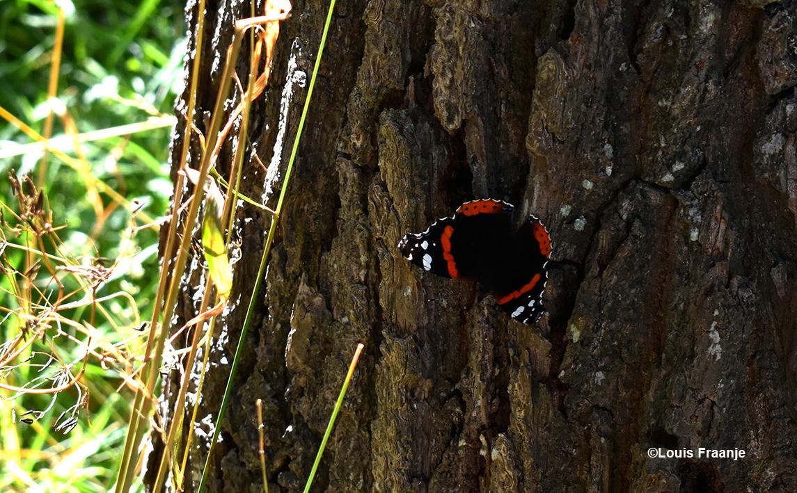 En voor zo'n schitterende Atalanta vlinder nemen we even de tijd - Foto: ©Louis Fraanje