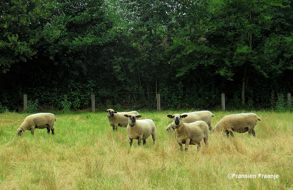 In het weiland erachter liepen apart soort schapen, het zijn Hampshire Down schapen. Het is een vrij groot, sterk en stevig gebouwd vleesschaap met een vriendelijke en unieke uitstraling. De herkomst van dit schapenras is Engeland. Het ras werd erkend in 1861 door the Royal Agricultural Society. Deze dieren werden voor het eerst ingevoerd in België in 1948 - Foto: ©Fransien Fraanje