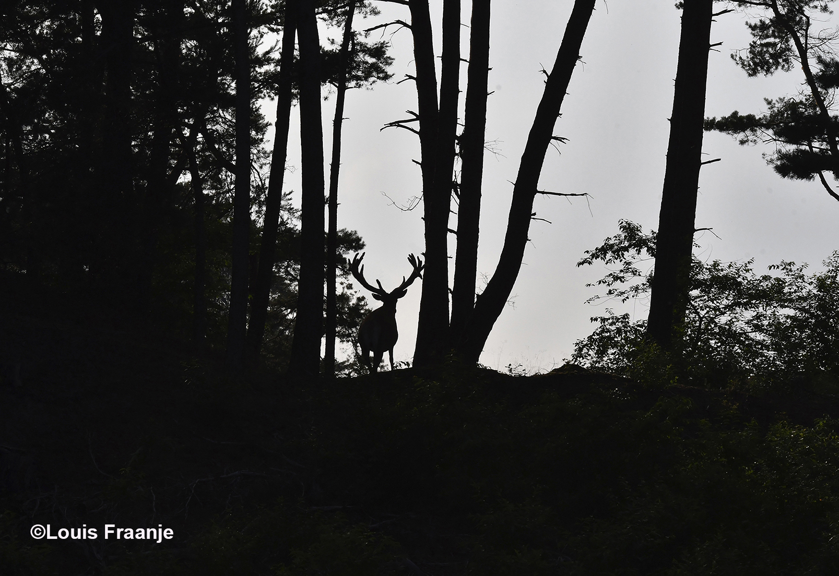Dan opeens verschijnt bovenaan een heuvel de donkere schaduw van een hert - Foto: ©Louis Fraanje